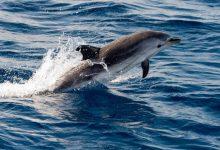 Til delfinen